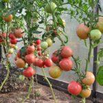 томаты для теплиц Урала