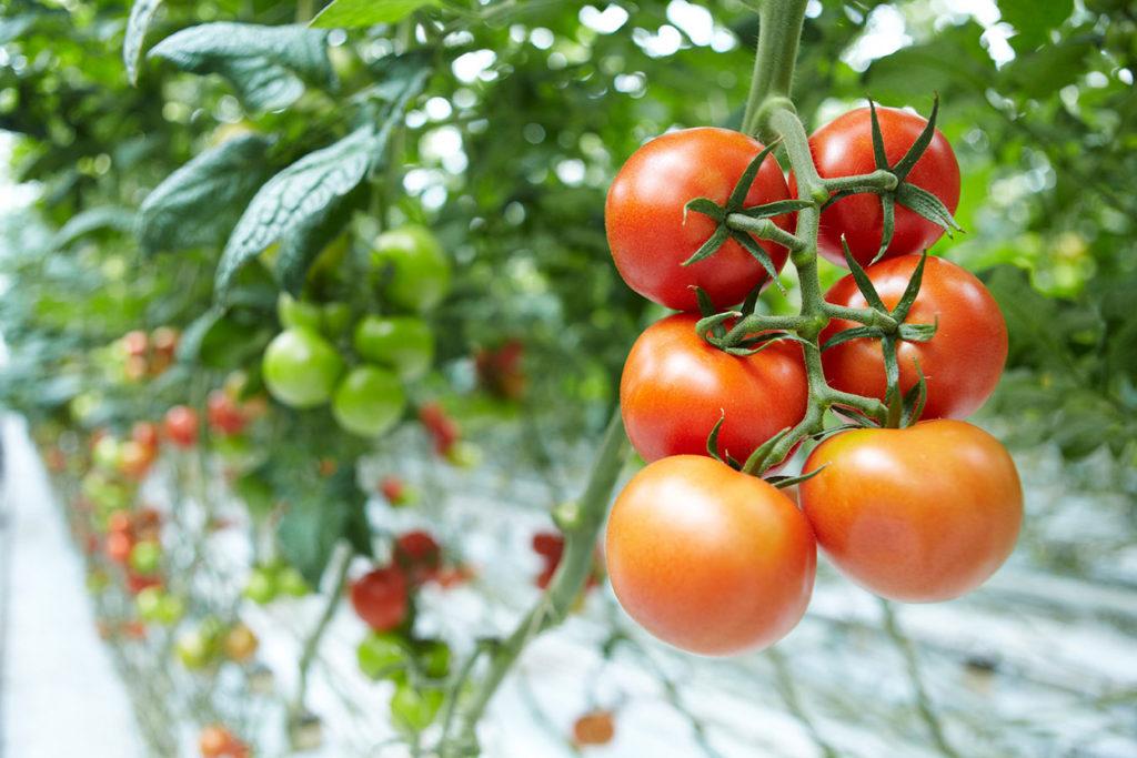 томаты сладкие для теплиц