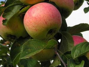 Яблоко висит на дереве.
