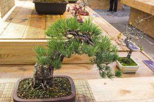 Японская белая сосна Pinus